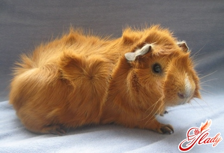 guinea pig care and content