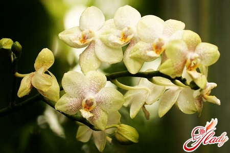 phalaenopsis orchid reproduction