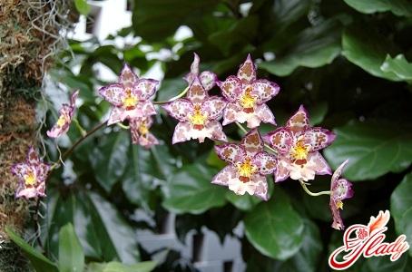 cumbrian orchid