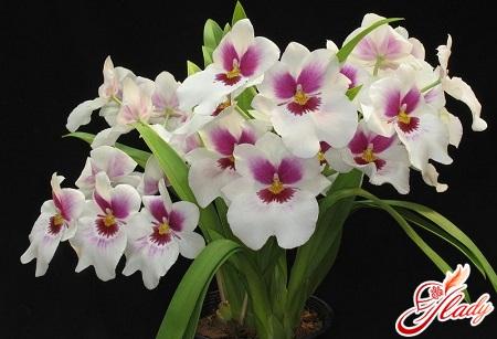 Miltonia Orchid Care