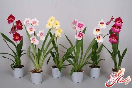 beautiful orchid meltony