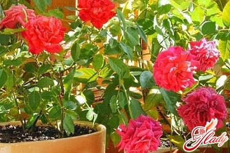 transplantation of an indoor rose