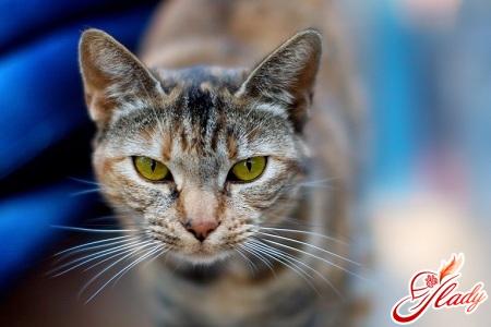 у кішки лупа