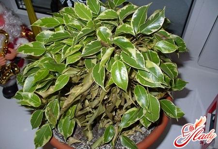 Ficus of Benjamin Drops Leaves