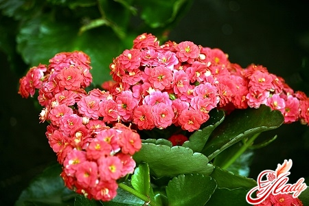 why the Kalanchoe does not bloom at home