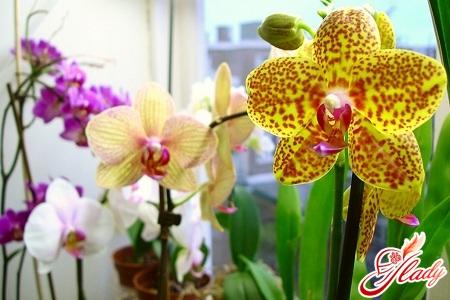 watering of phalaenopsis orchids
