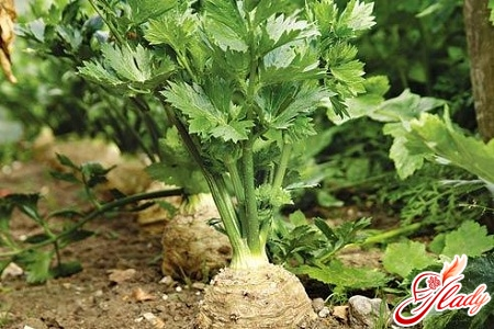 celery growing