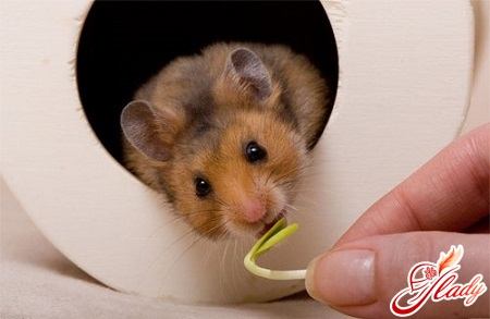 how to care for a Syrian hamster