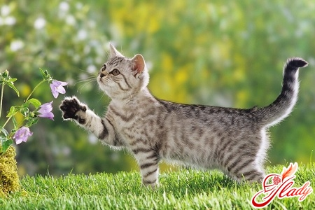 cat's pregnancy lasts
