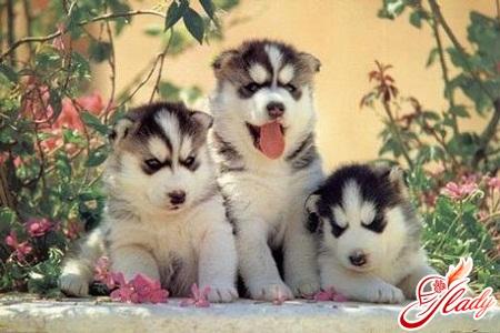 genera in small breed dogs