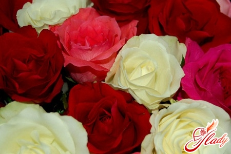 indoor variety roses