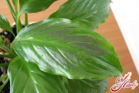 why does the spathiphyllum blacken leaves