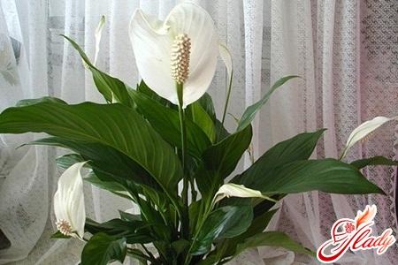 flower spathiphyllum