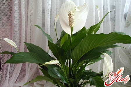 why do the leaves dry at spathiphyllum