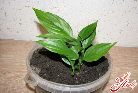 spathiphyllum how to care