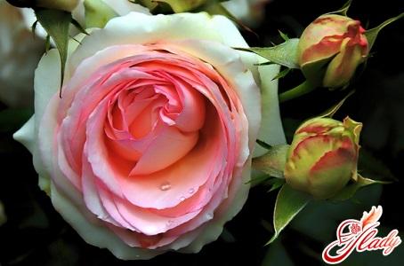 grooming roses