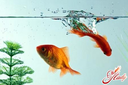 золота рибка догляд