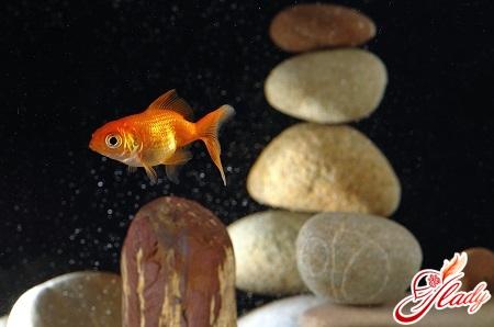 рибка золота догляд