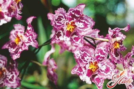 Orchid Vanda Care