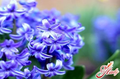 distillation of hyacinths