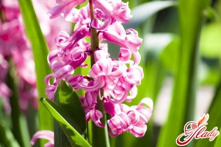 distillation of hyacinths at home