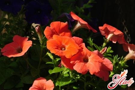 cultivation of petunia