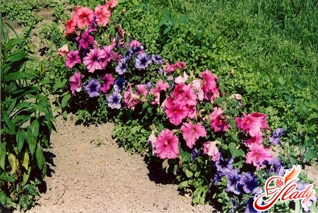 petunia cultivation and care