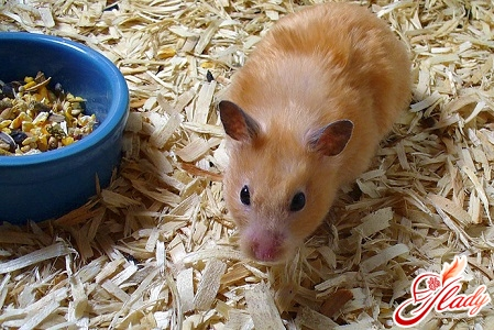 hamsters maintenance and care