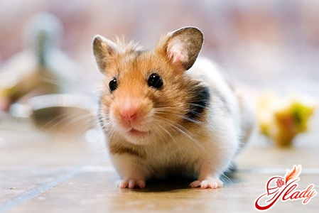 hamsters care and maintenance