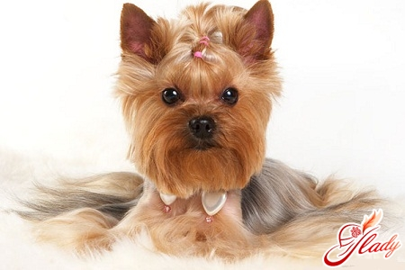 Fashionable dogs - yorkshire terriers